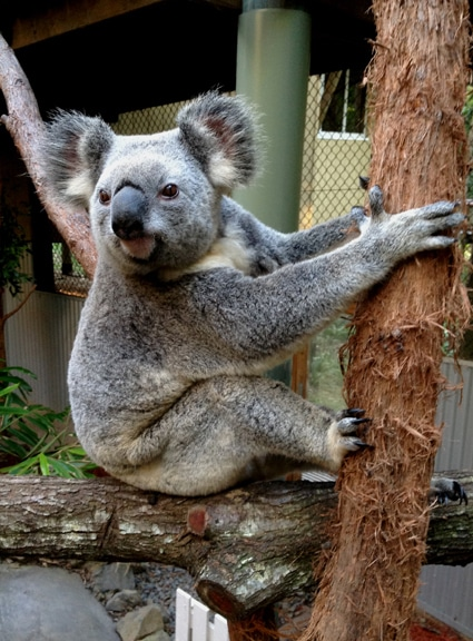 Daisy Hill Australia  city photos gallery : Daisy Hill Koala Centre Brisbane Kids