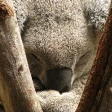 koala sleeping at daisy hill koala centre