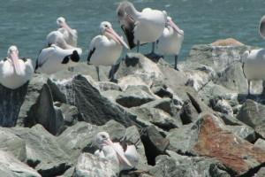 Pelicans at Pelican Park