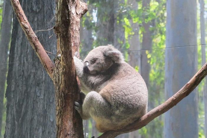 koala in tree sleeping daisy hill