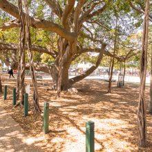 Bulimba Memorial Park fig trees
