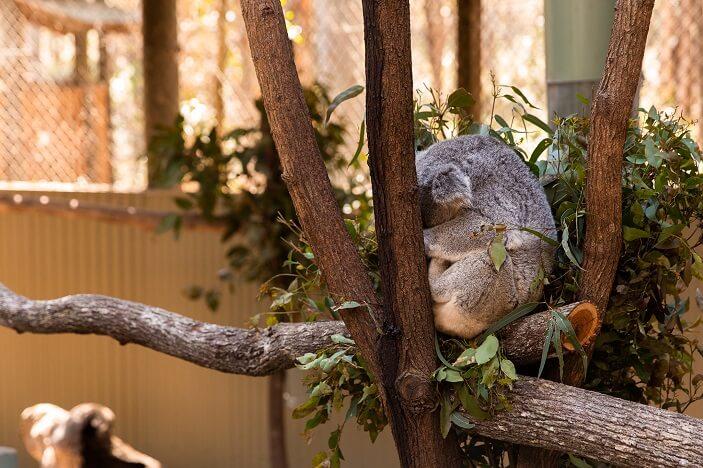 koala at daisy hill koala centre