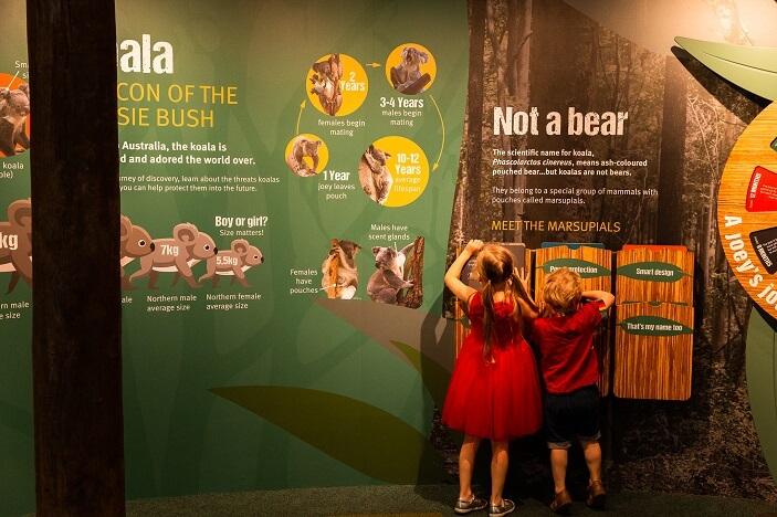 life cycle of koala display wall