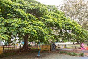 huge jacaranda tree.