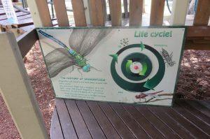 dragon fly life cycle