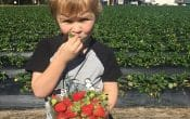 pick your own strawberries at strawberry fields with kids