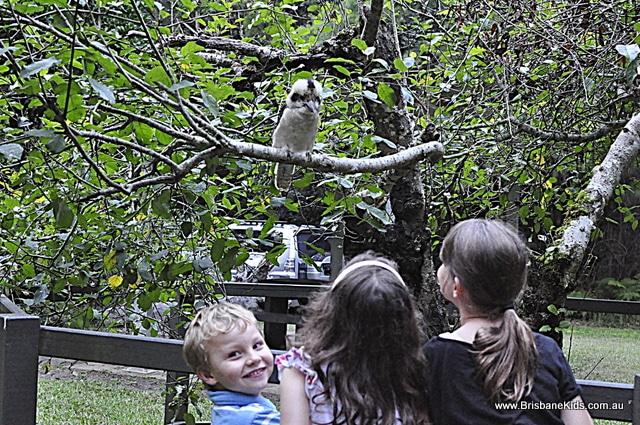 apple tree park, springbrook, kookaburra