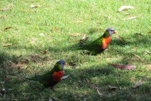lorrikeets in sandgate park