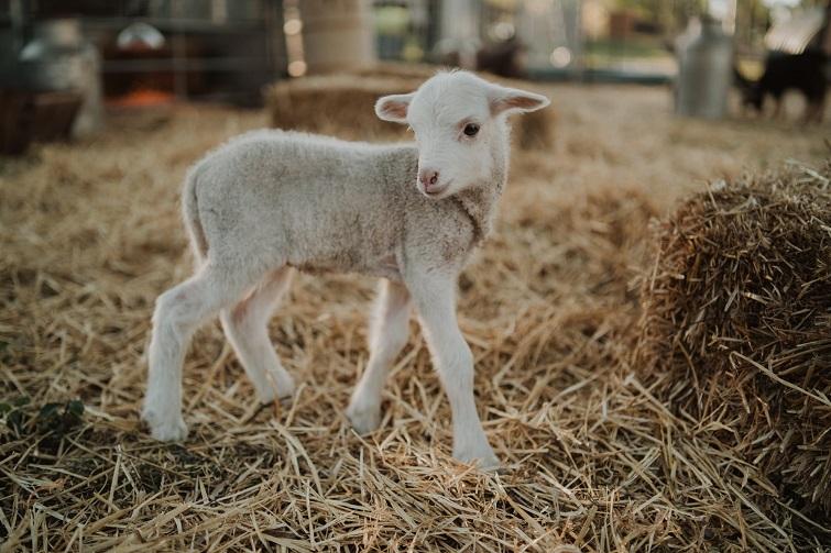 ekka animal nursery lamb