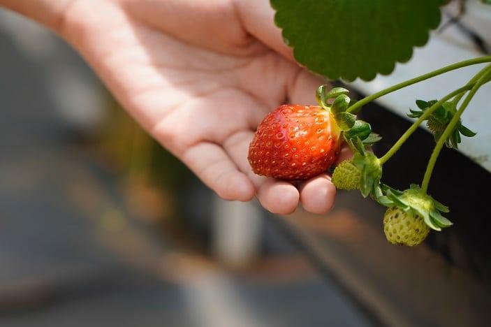 chambers flats strawberries