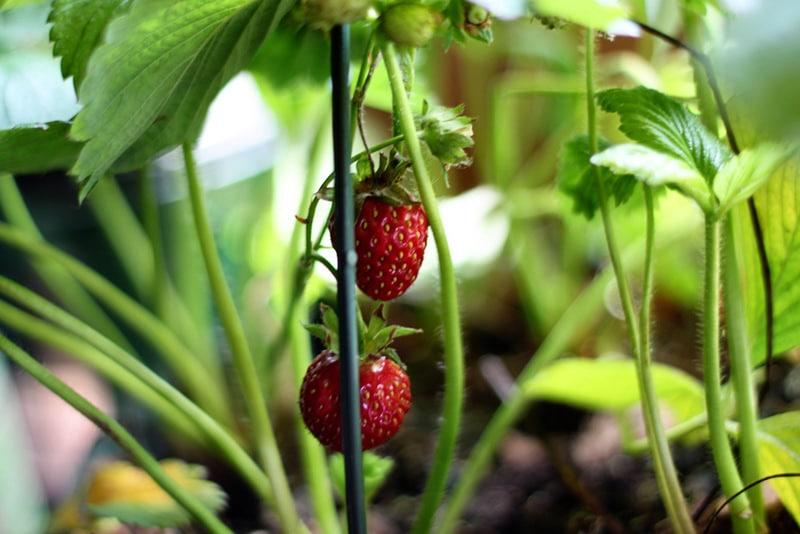 Growing Strawberries At Home Brisbane Kids