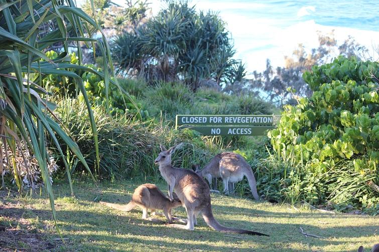 kangaroos at point lookout