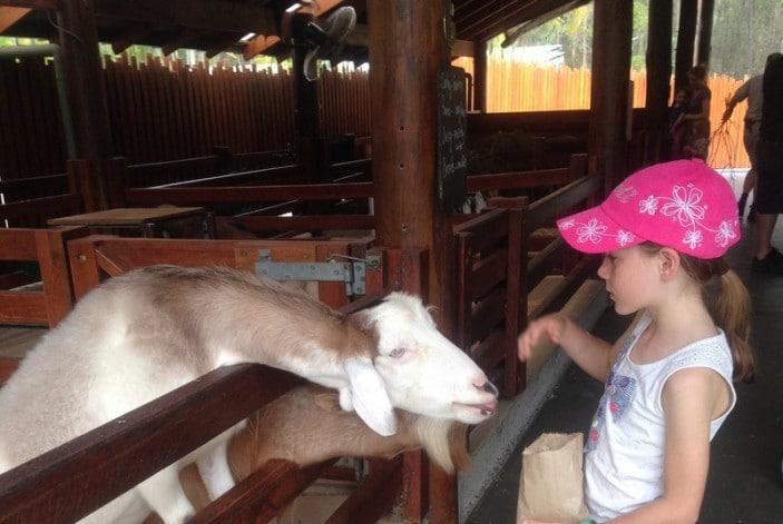 Feeding goat at Australia Zoo