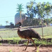 Farm Animals at the Big Pineapple