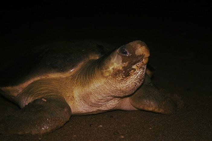 female loggerhead turtle bundaberg
