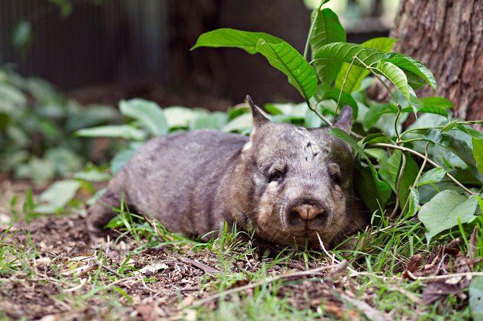 queensland zoo hairynose wombat