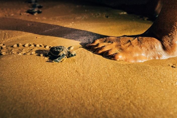 turtle hatching at mon repos