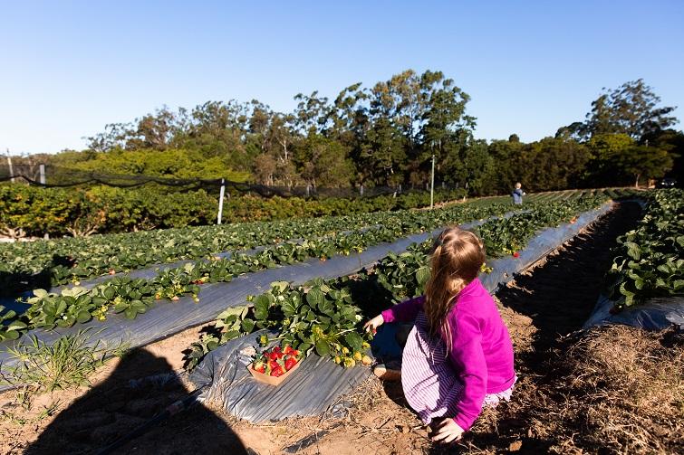 kids picking strawberries.