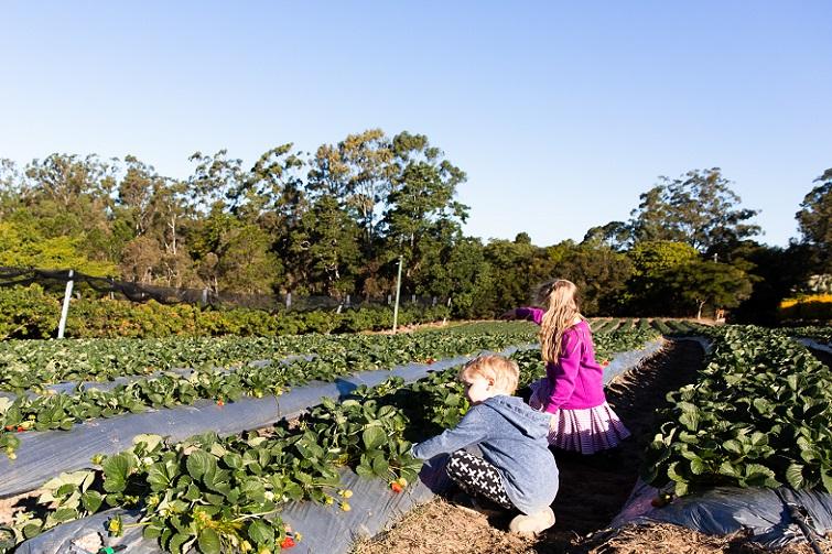 mcmartins strawberry farm