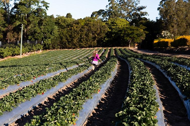 bli bli strawberry field.