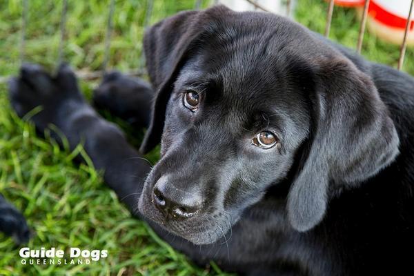 Guide Dog Puppy Raiser Australia