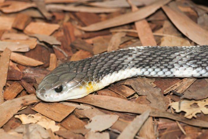 Snakes in Brisbane
