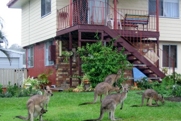 Kangaroos in Brisbane in the wild