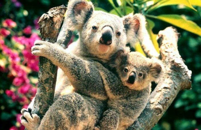 Koala Facts for Kids • Brisbane Kids
