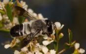 native bees brisbane