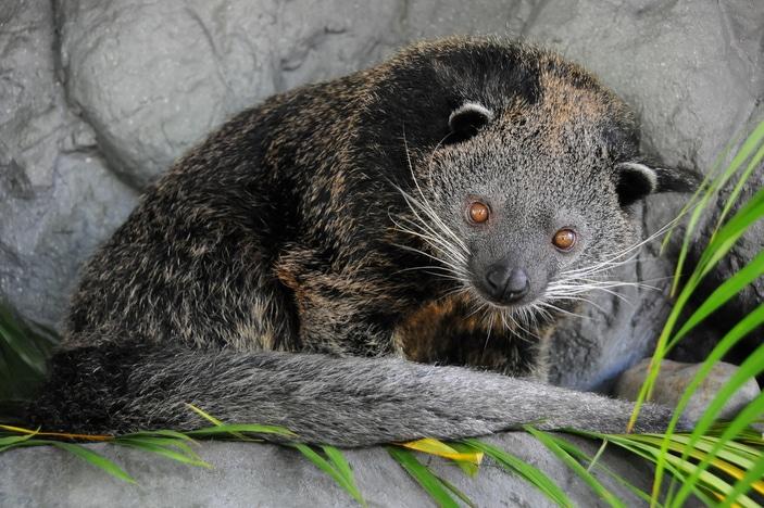 australia zoo animals unusual amazing most binturong brisbane