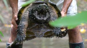 Alligator snapping turtle, Australia Zoo