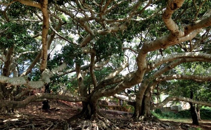 Climbing trees Brisbane