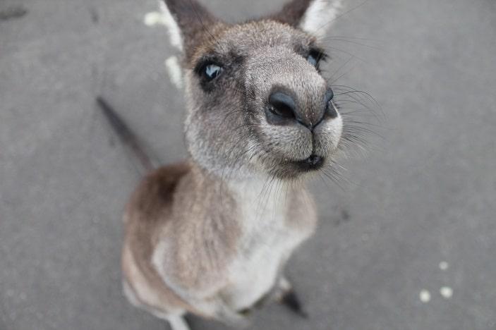 kangaroo brisbane zoo australia day
