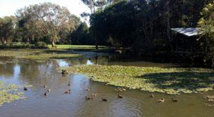 Sunnybank, Ducks