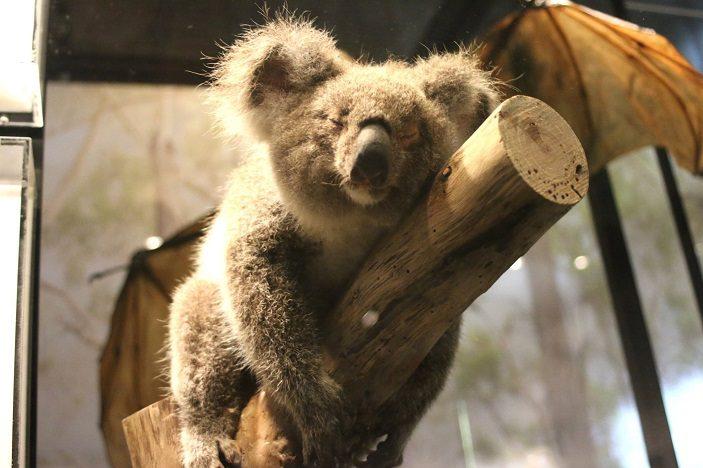 koala at qld museum brisbane