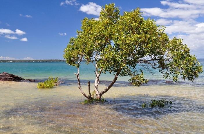 tree on coochiemudlo island