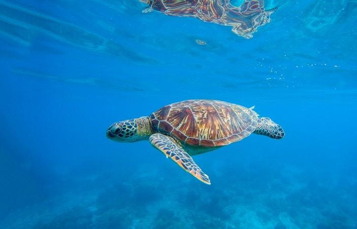Sea turtle in water. Underwater photo with tortoise. Exotic island seashore