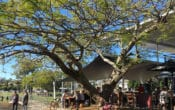Large shady tree over cafe