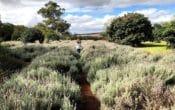 Girl walking through lavender fields Kingaroy
