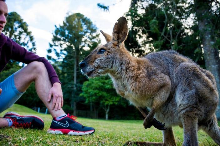 Wallaby at Bunya Mountains Queensland Australia