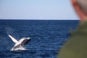 Tangalooma Island Resort, Tangalooma Whale Watching Cruise, whale watching, Moreton Island, Tangalooma day trip