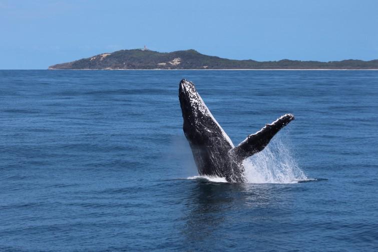 Whale breaching off Moreton Island coast