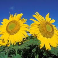 how to grow tall sunflowers
