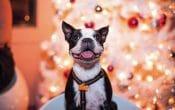 Santa Paws puppy, French bulldog with christmas tree