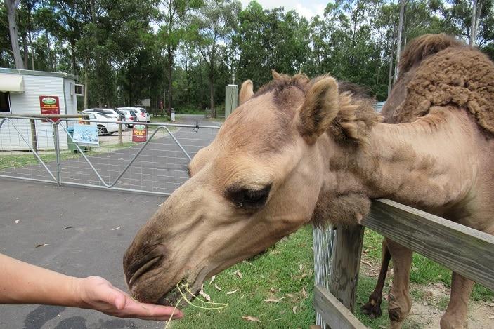 camel feeding, white ridge farm, farm experience brisbane