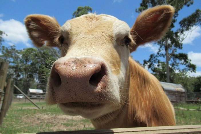 cow, cow encounter at brisbane farm