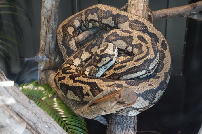 snakes, carpet python, david fleay