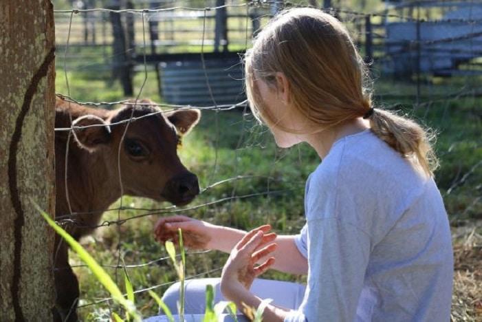 tommerup farm feeding calf, girl feeding calf