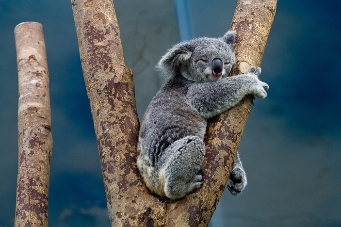 koala-sleeping in tree image