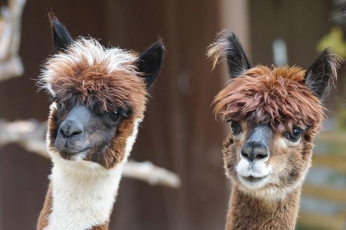 alpacas animal expo, farm animals, cute alpacas